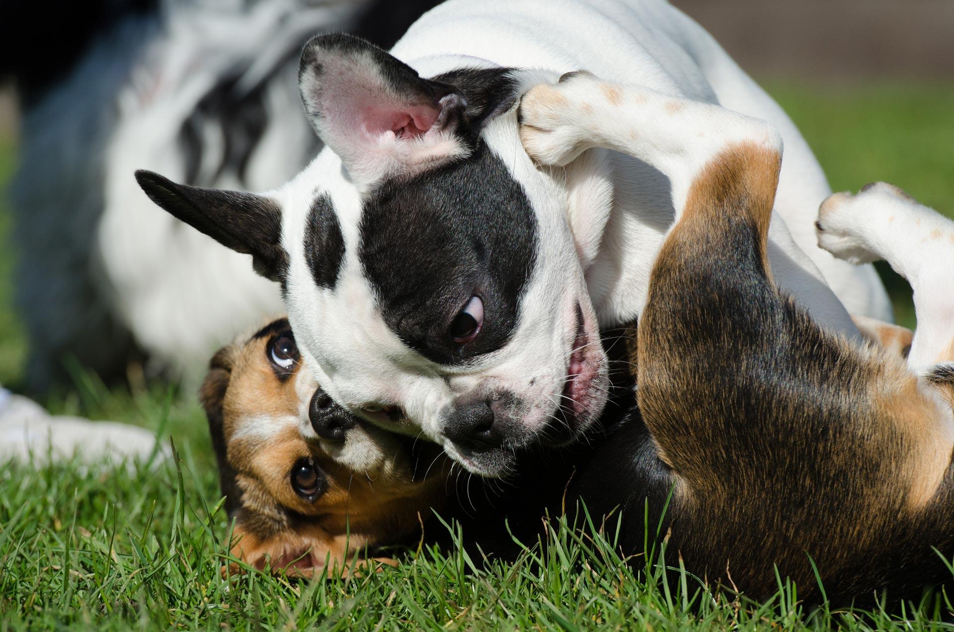 cucciolo di bulldog francese gioca con altro cane sul prato