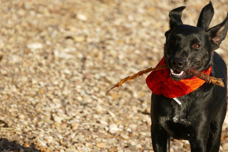 cane-gioca-in-campagna-con-legno