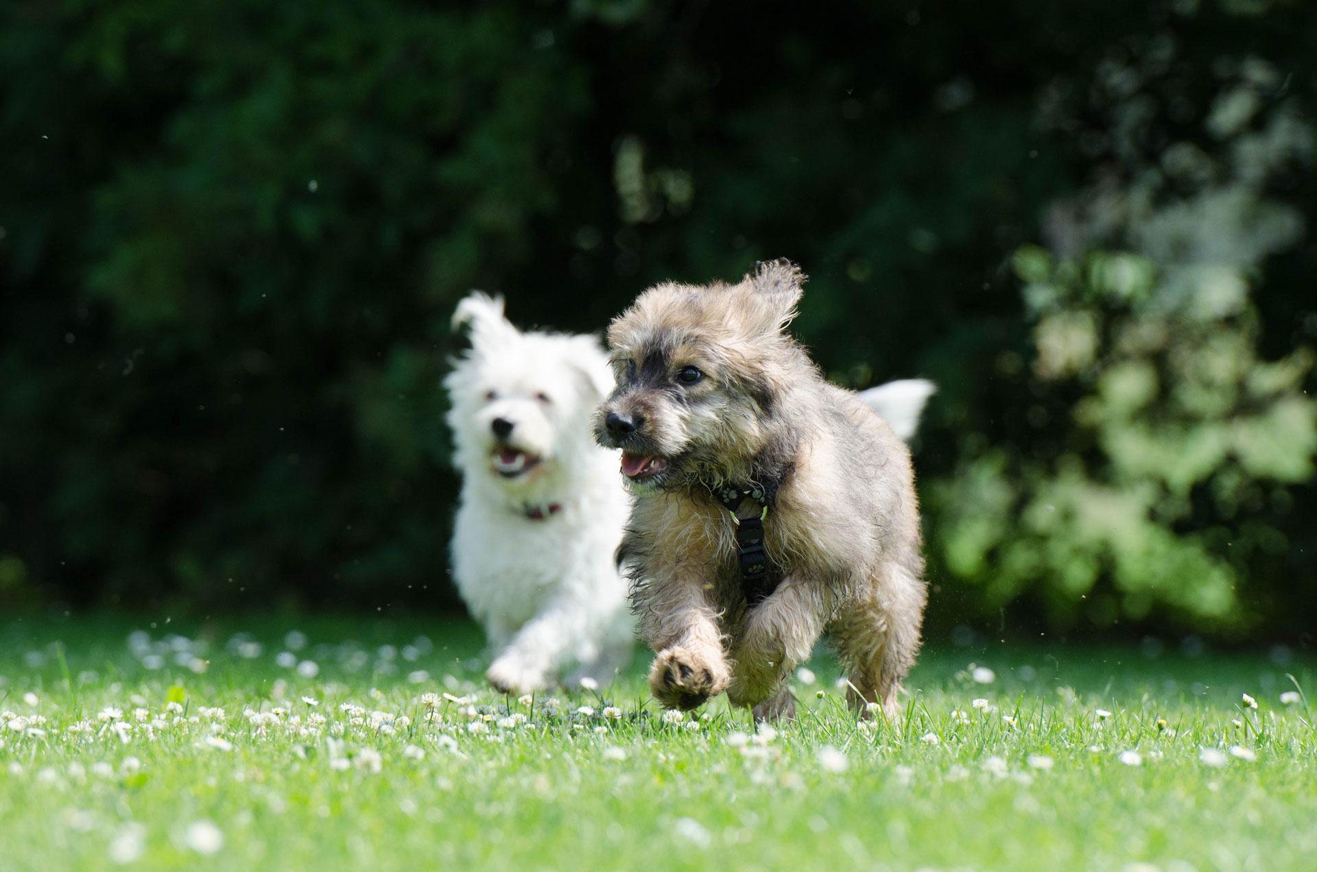 cani passeggiano felici sul prato